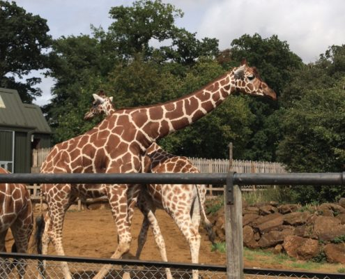 Giraffes at Whipsnade